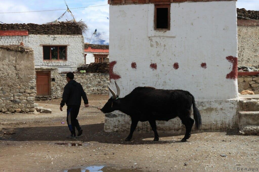 Trek au Zanskar en Himalaya - Eleveur - benoit richer