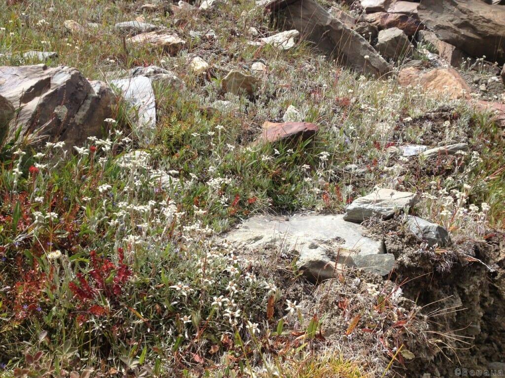 Trek au Zanskar en Himalaya - Fleurs locales