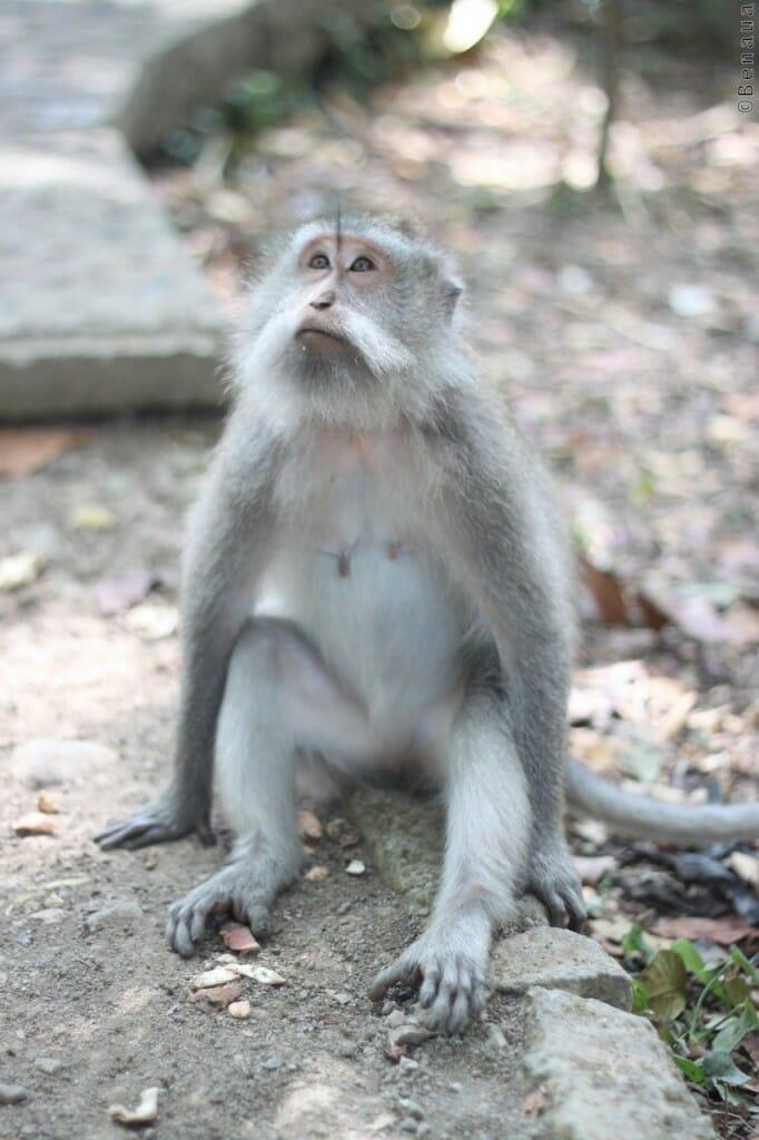 Bali en Indonésie - Singe de la Monkey Forest