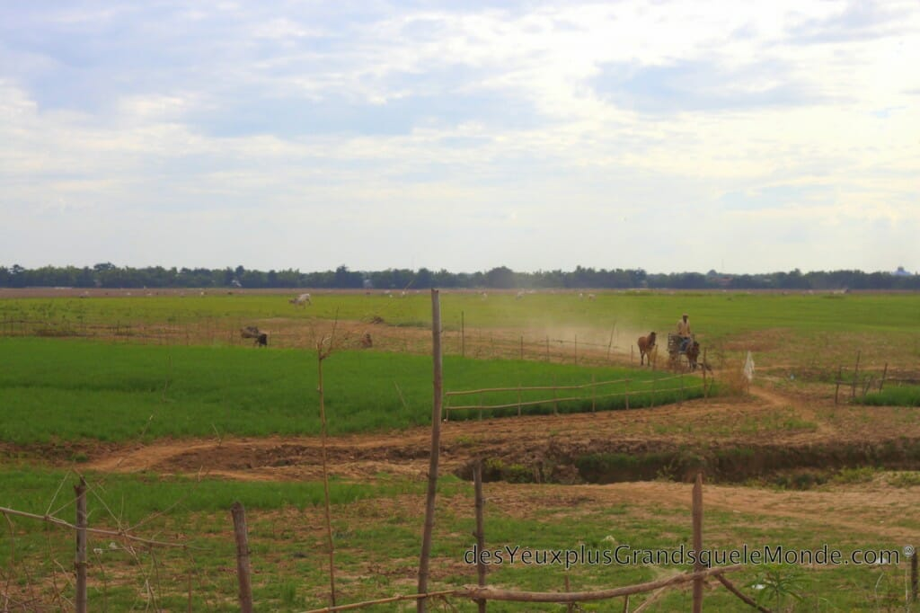 Koh Pen - prairie à vaches