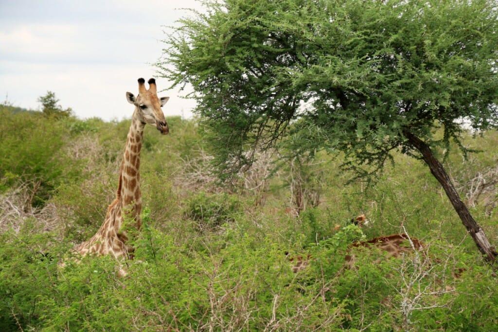 Girafe - Safari pas cher en Afrique du Sud