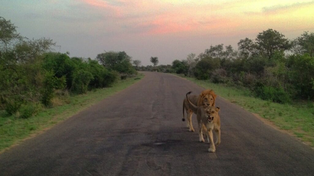 Lions - Big Five du Kruger