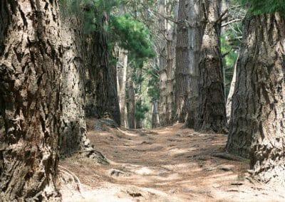 Belle-Ile-en-Mer - Foret de pins entre le Palais et Sauzon