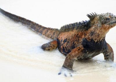 Iguane marin des Galapagos