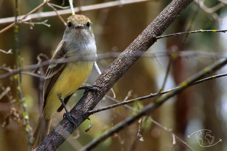 Iles Galapagos - Oiseau cul-jaune