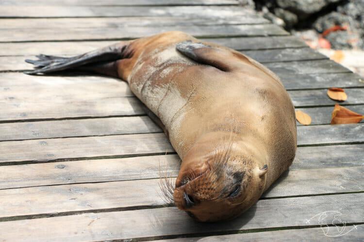 Visiter les Galapagos - Otarie - île Isabela