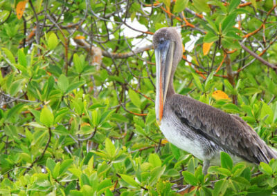 Pélican des Galapagos
