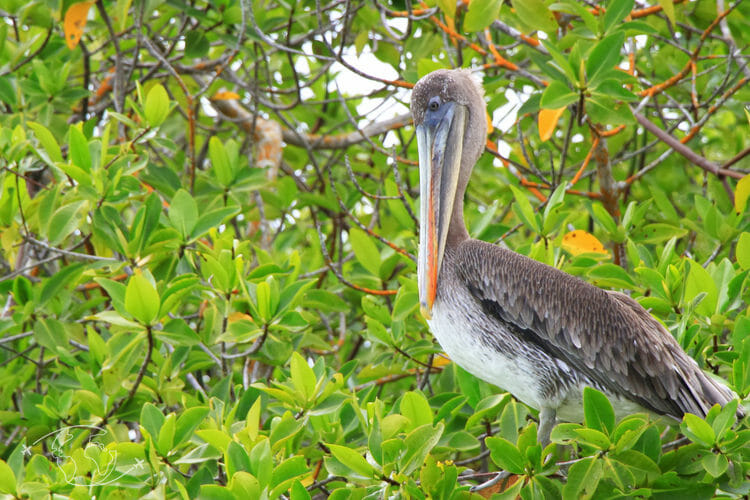 Iles Galapagos - Pélican des Galapagos