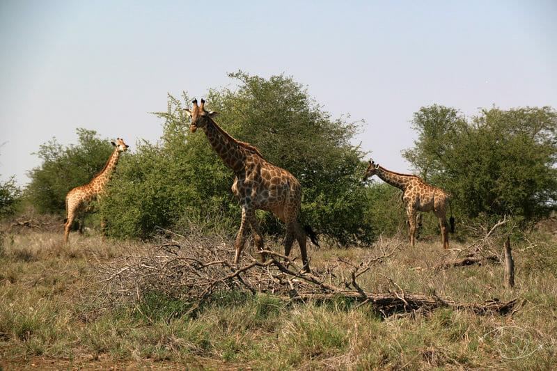 Afrique du Sud- Girafes au Kruger