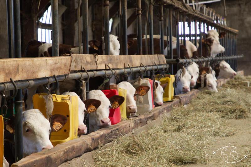 Visite de ferme en Lozère - Les vaches de Nadège et Olivier