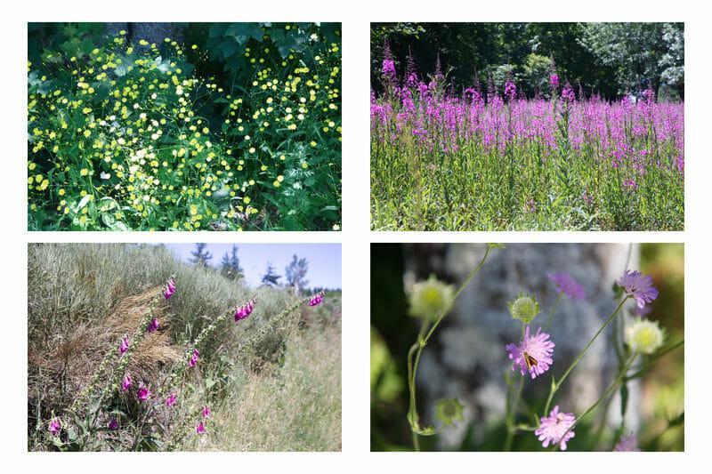 Chemin de Stevenson - Fleurs sauvages entre la Bastide et Chasseradès
