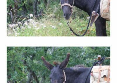 Chemin de Stevenson - Portrait d'âne - Pablo