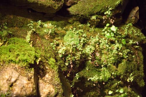Plantes dans les couloirs de la cave de Roquefort Société