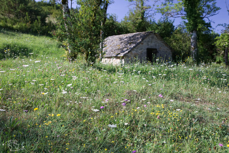 Randonnée Larzac - L'emblème du Larzac : la Cardabelle