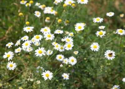 Randonnée Larzac - Champ de fleurs du Larzac