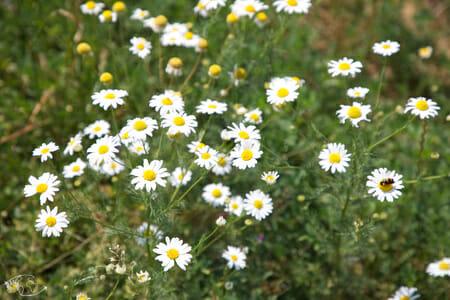 Randonnée Larzac - champ de fleurs du Larzac 2