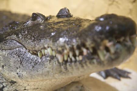 Crocodile du Reptilarium de Ste Eulalie de Cernon