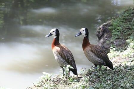 Canard Sifleur à Tête Blanche- Parc Ornithologique de St Hilaire - Marais Poitevin