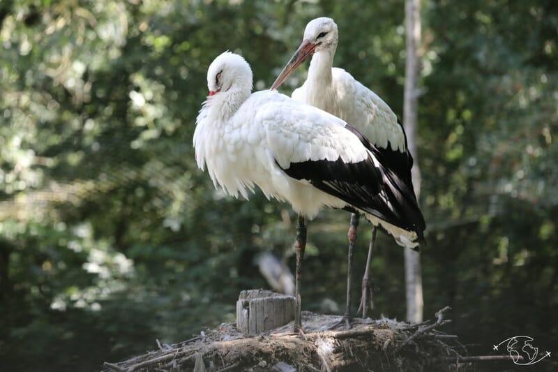 Couple de Cigognes - Parc Ornithologique - Marais Poitevin
