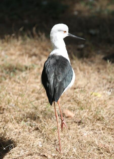 Oiseau échassier - Parc Ornithologique de St Hilaire - Marais Poitevin