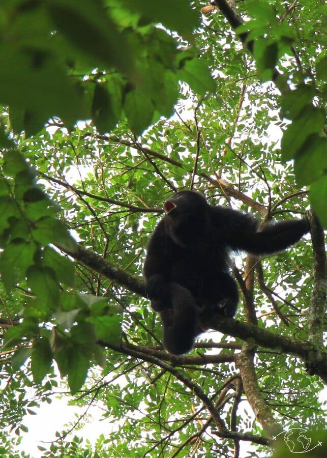 Singe hurleur à Palenque