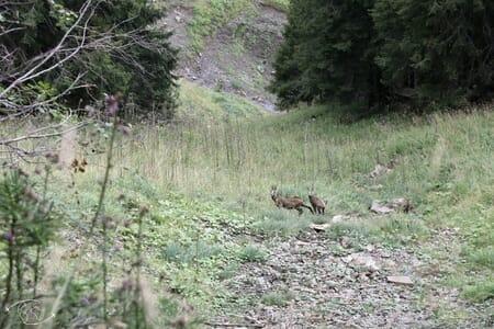 Randonnée suisse - Chamois sur le sentier des Dents du Midi