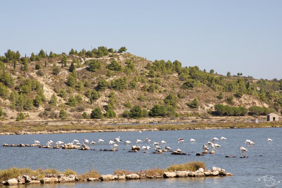 Visiter Narbonne - Flamands roses de l'étang de Peyriac-de-Mer