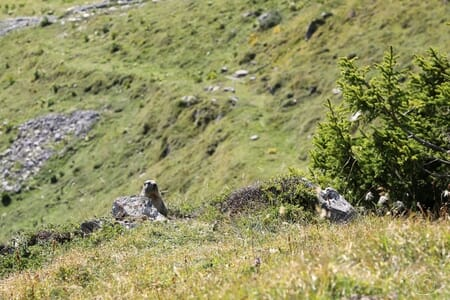 Marmotte du Tour des Dents du Midi