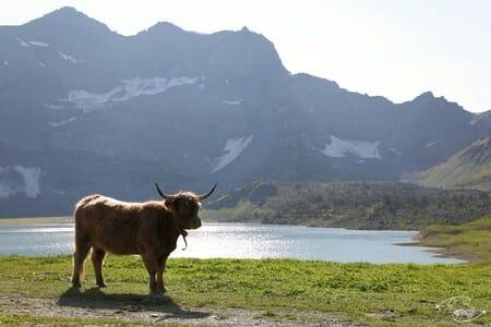 Vache écossaise au Lac de Salanfe
