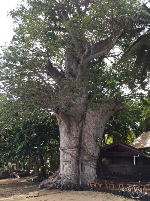 Baobab sur la plage de N'Gouja_Mayotte