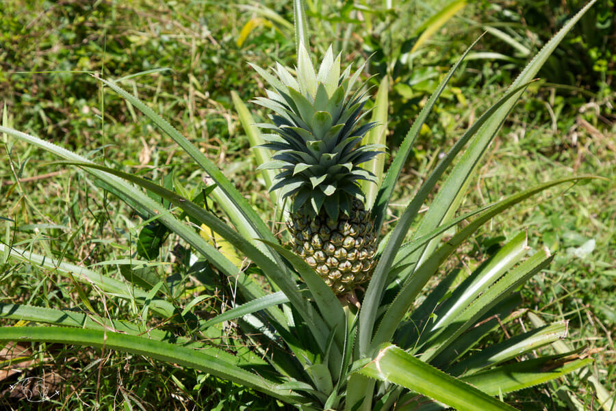 Jardin d'Imany - Ananas