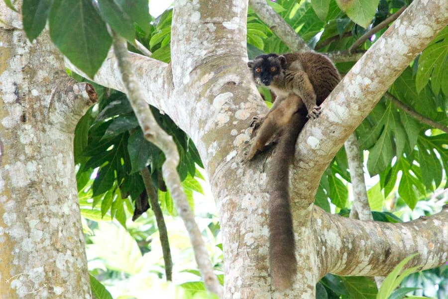 Jardin d'Imany - le fameux Maki - Lémurien - Visiter Mayotte