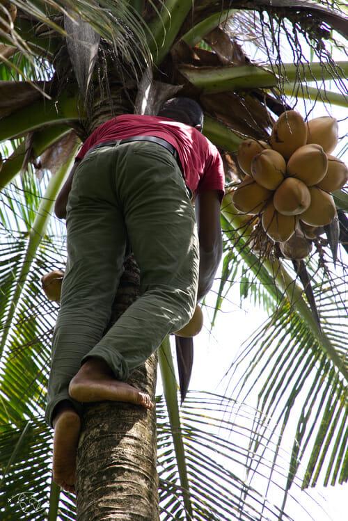 Jardin d'Imany - Noix de coco
