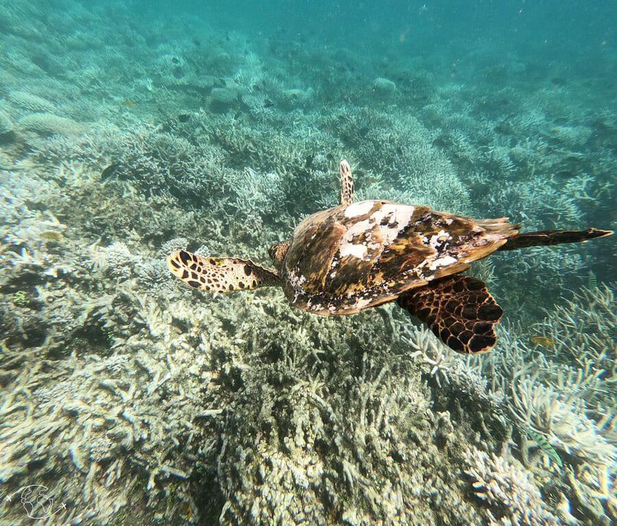 Tortue en snorkeling - Sortie bateau - Visiter Mayotte