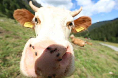 Vache du Valais