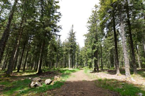 Forêt de pins en Auvergne - Boucle du Sancy