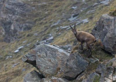 Bouquetin sur le rocher 1 _ Voyage photo animalière _ Salva Fauna Tours
