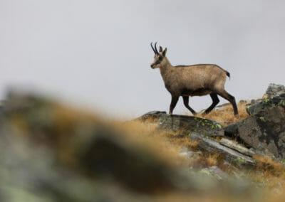Chamois près du lac 1 _ Parc Gran Paradiso _ Salva Fauna Tours