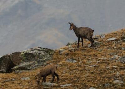 Chamois près du lac 2 _ Parc Gran Paradiso _ Salva Fauna Tours