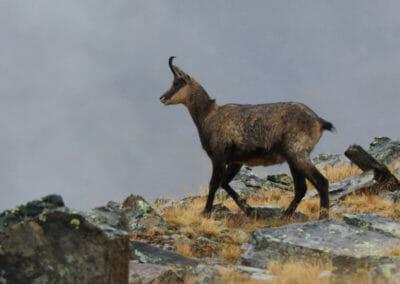Chamois près du lac _ Parc Gran Paradiso _ Salva Fauna Tours