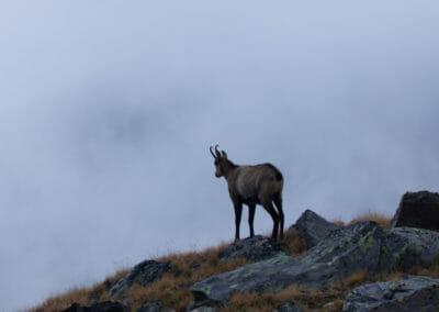 Chamois sur la crête _ Voyage photo animalière _ Salva Fauna Tours