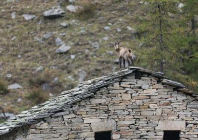 Chamois sur un toit de bergerie _ Parc Gran Paradiso _ Salva Fauna Tours