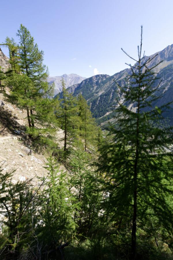 Forêt de pins _ Parc Gran Paradiso _ Salva Fauna Tours