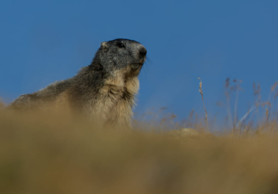 Marmotte en jaune et bleu _ Parc Gran Paradiso _ Salva Fauna Tours