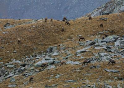 Troupeau de chamois _ Parc Gran Paradiso _ Salva Fauna Tours
